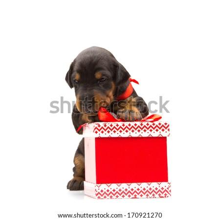 Doberman puppy near gift-box, studio shot on white background - stock photo