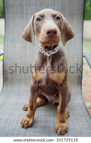 Doberman puppy sitting in a chair outside - stock photo