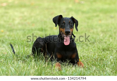 Doberman relaxing on grass - stock photo