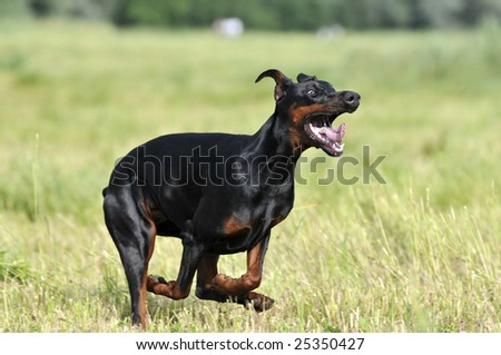 Doberman running on the grass