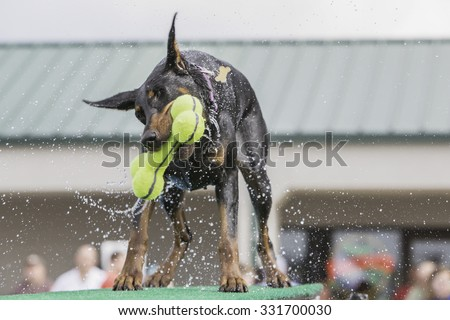 Doberman shaking water off while holding a toy - stock photo