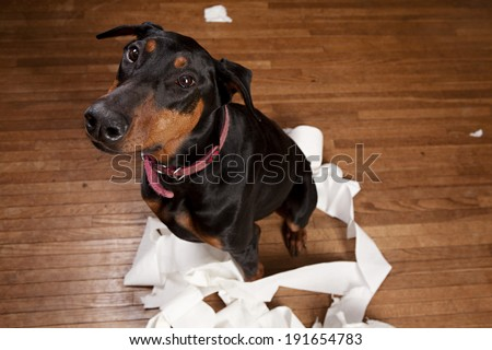 Doberman sitting in a pile of shredded toilet paper.  Room for your text.