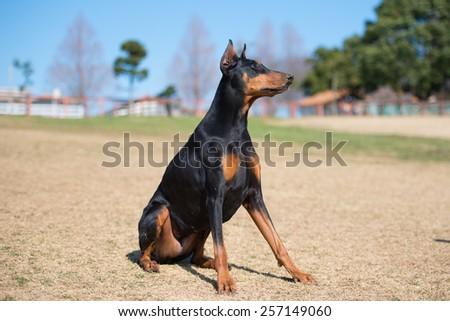 Doberman to sit on the lawn - stock photo