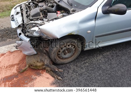 DOBRANY, CZECH REPUBLIC - MARCH 26, 2016: Car accident with wild boar on road between Pilsen and Dobrany. Wild boars are overpopulated, that cause many problems. West Bohemia, Czech republic, Europe. - stock photo