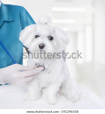 Doctor listening to a stethoscope veterinarian inspects a small Maltese puppy inside a light veterinary clinic