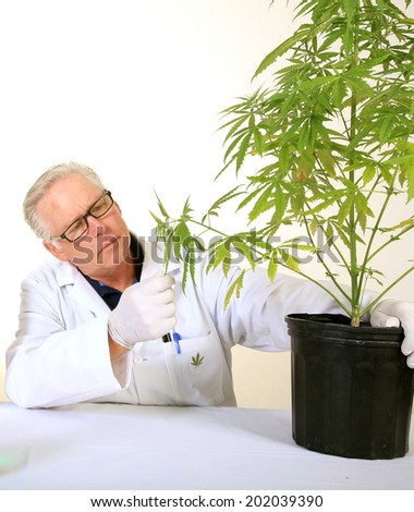 Doctor Sativa, a board certified Medical Marijuana Doctor explains the Medical Benefits of Medical Cannabis and how it grows from a simple organic plant into a Medical drug for many around the world   - stock photo