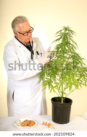 "Doctor Sativa a Board Certified Medical Marijuana Doctor listens carefully to the faint ""life signals"" aka ""plant heart beats"" with his stethoscope on one of his research subjects.  - stock photo"
