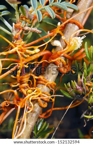 Dodder (Cuscuta americana) a parasitic climber - stock photo