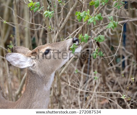 Doe eating foliage - stock photo
