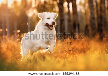 dog, a golden retriever, a summer outing - stock photo