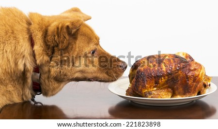 Dog about to eat rotisserie chicken at table - stock photo