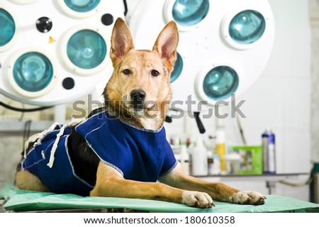Dog after a surgical operation  - stock photo