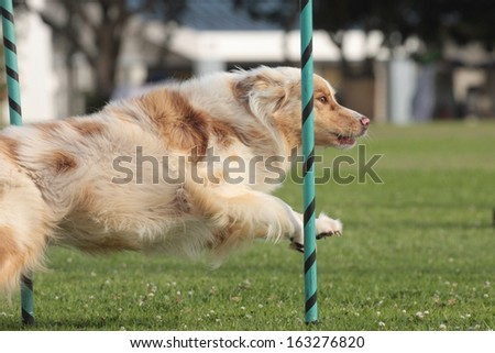 Dog Agility Aussie in the slalom