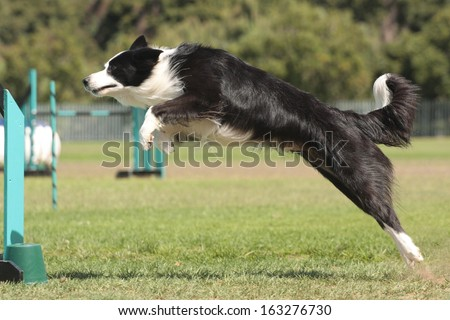 Dog Agility border collie leaping - stock photo