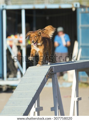 Dog agility in action. Image taken on a summer evening on a sandy track. The dog breed is Nova Scotia duck tolling retriever also known as toller.  - stock photo