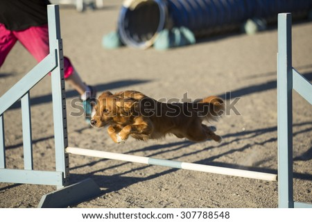 Dog agility in action on a summer evening on a sand track. The dog breed is nova scotia duck tolling retriever also known as a toller. - stock photo