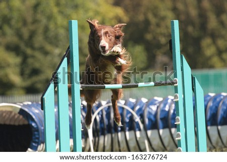 Dog Agility red border collie - stock photo