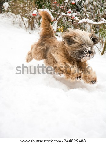 ... - tibetan terrier running and jumping in the snow. - stock photo