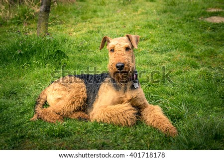 dog Airedale Terrier, portrait on a grass background