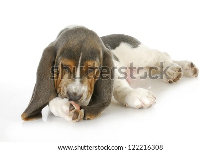 dog allergies - basset hound puppy licking foot with possible skin allergies - stock photo