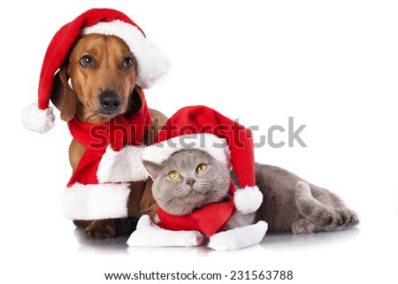 dog and cat and british cat wearing a santa hat - stock photo