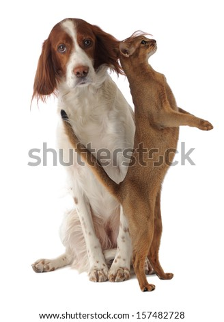 dog and cat, isolated, studio - stock photo