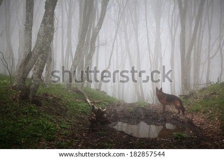 Dog and fog forest