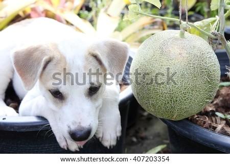 Dog and melon - stock photo