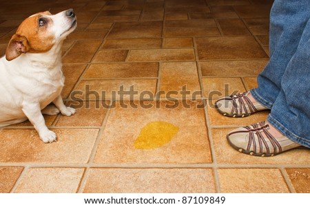 Dog and owner meet at a urine puddle - stock photo