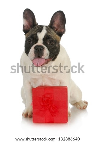dog and present - french bulldog sitting behind red gift box on white background