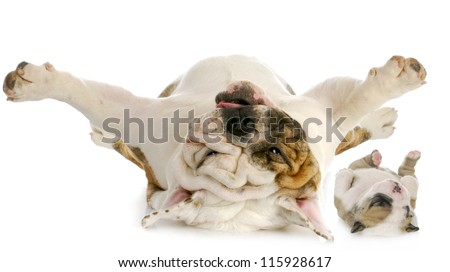 dog and puppy upside down - english bulldog and puppy laying on backs isolated on white background
