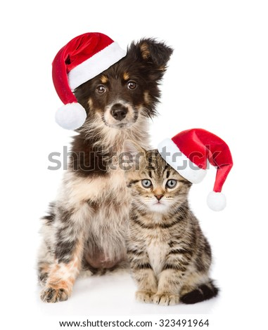 dog and Scottish kitten with red christmas hats looking at camera. isolated on white background - stock photo