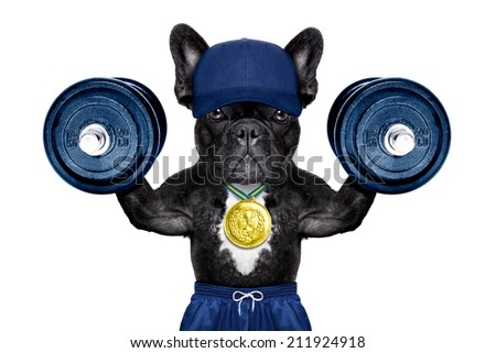 dog as  personal  trainer with gold medal lifting heavy dumbbells wearing sport shorts - stock photo