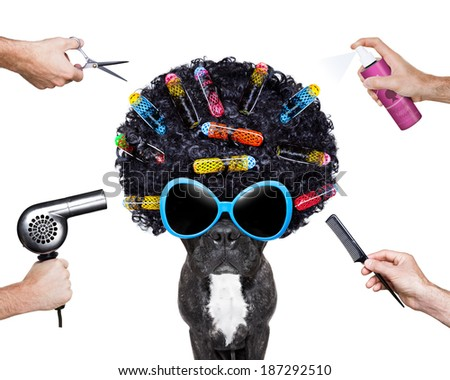 dog at hairdresser with afro black hair and glasses - stock photo