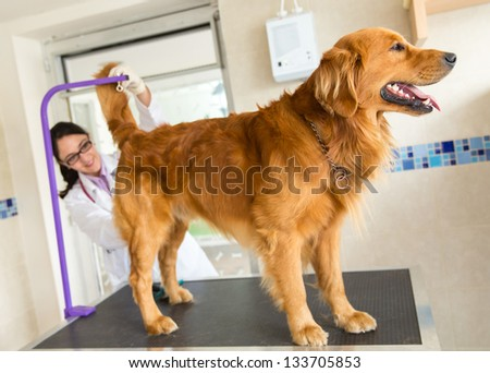Dog at the vet and a doctor checking his temperature from behind