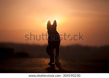 Dog back light silhouette in sunset  - stock photo