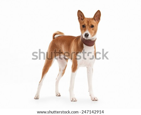 Dog. Basenji on white background - stock photo