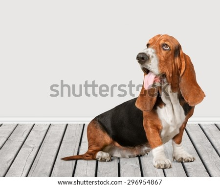 Dog, Basset Hound, Puppy.