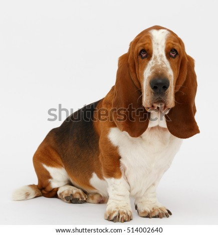 Dog, basset hound stand on the white background, isolated
