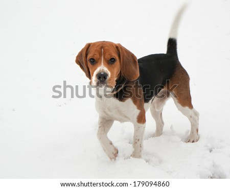 Dog Beagle. Beagle breed of hound dogs. Bigley have a good scent, and are used primarily for hunting rabbits and hares. Very often Beagle is used by customs to detect explosives. Active and playful. - stock photo