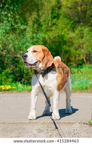 dog beagle on the walk in the park outdoor