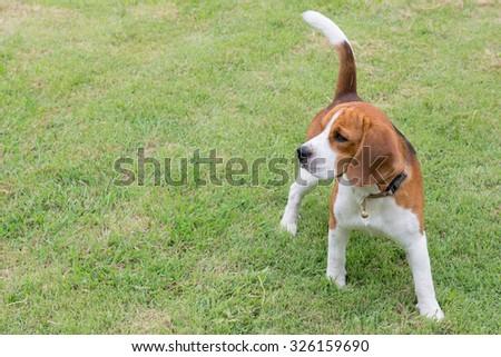 Dog Beagle sitting on green grass - stock photo