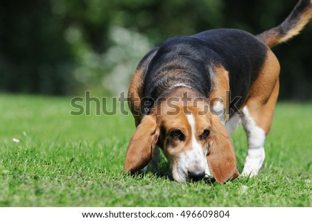 dog beagle standing on meadow