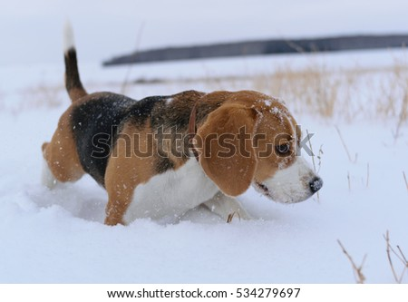 Dog Beagle tricolor markings on the walk in winter snowy field on sky background