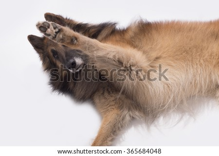 Dog, Belgian Shepherd Tervuren, paw up, isolated on white background