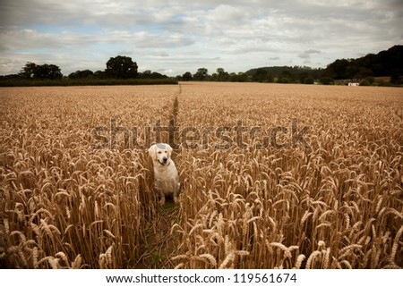 Dog between wheat along a public footpath in Somerset, UK. - stock photo