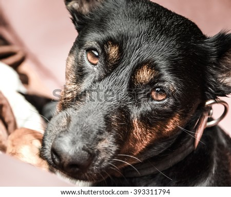 Dog - Black dog - Sleepy dog - Happy pet - Pet - Relaxed pet - Sleeping dog - Tired dog - Sick dog - Vet patient - Paw - Dog at home - stock photo