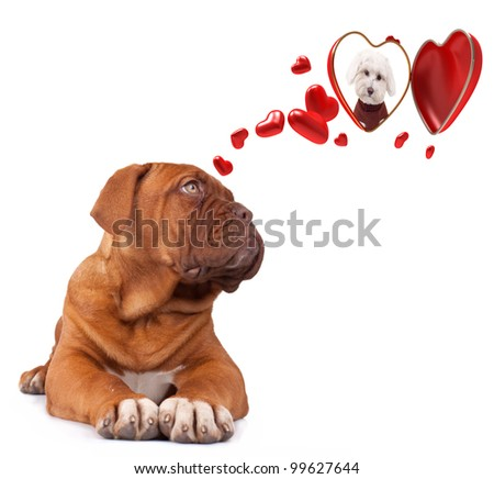 dog Bordeaux dreaming to his love one - stock photo