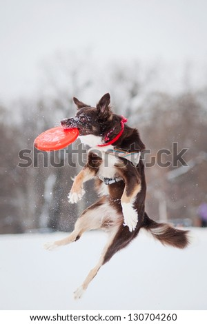 Dog border collie jumping and catching a flying disc in mid-air - stock photo