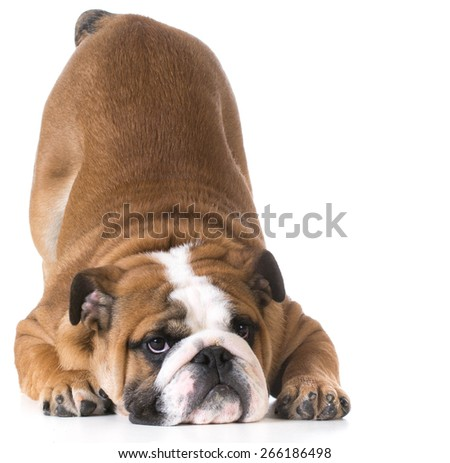 dog bowing - bulldog puppy with bum up in the air on white background - stock photo